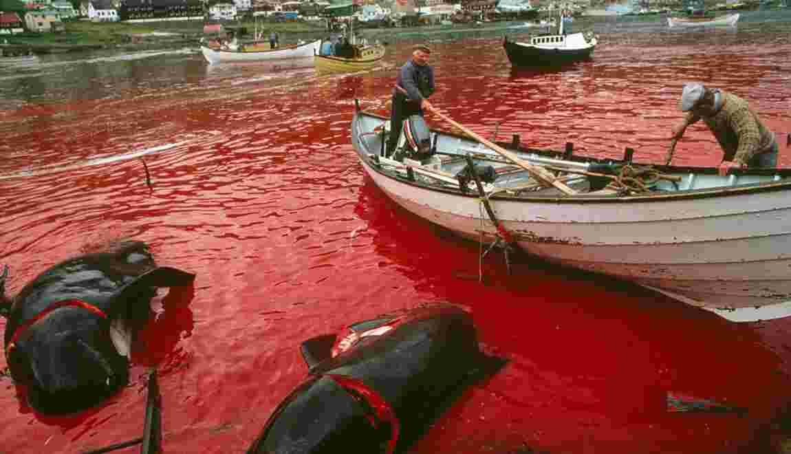 Féroé : la tradition justifie-t-elle la chasse au dauphin ?