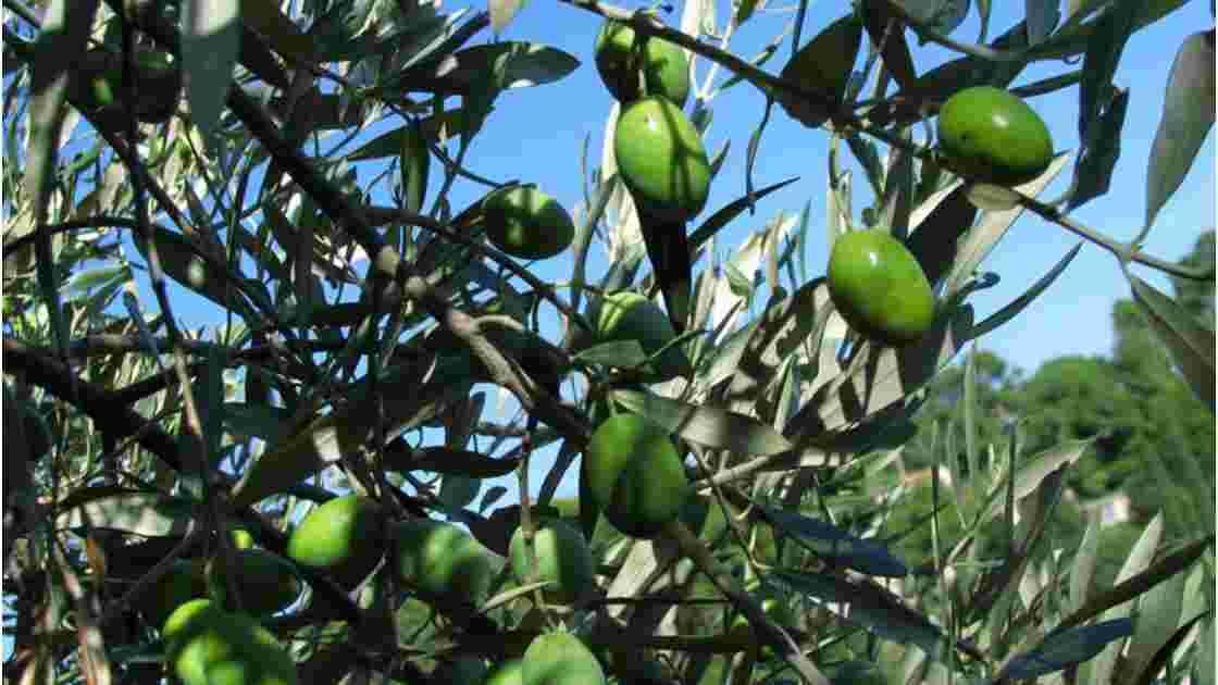Provence. Trois plantes anciennes toujours miraculeuses (2/3)