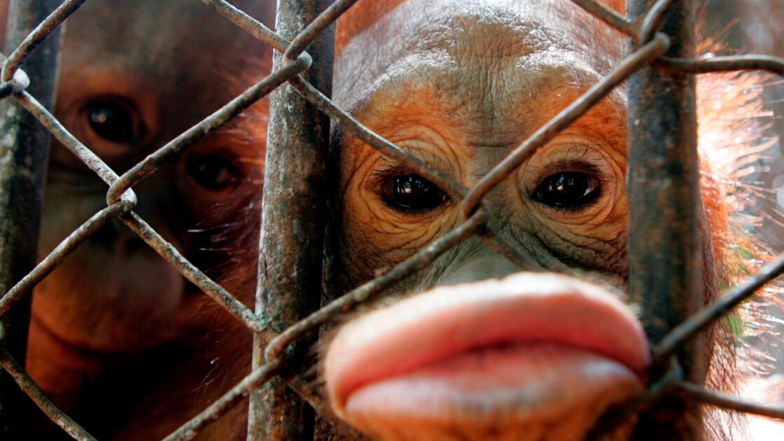 Prison ferme pour les trafiquants d'animaux : pour ou contre ?