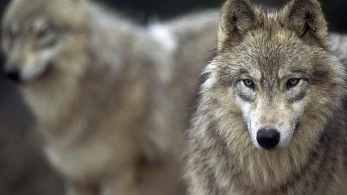 Faut-il autoriser l'abattage des loups ?