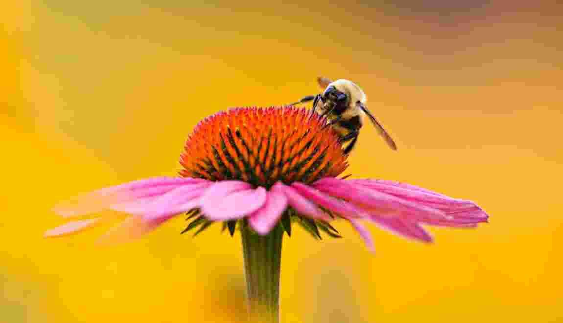 Un pesticide potentiellement dangereux pour les abeilles autorisé : qu'en pensez-vous ?