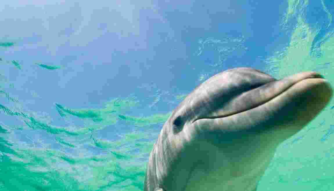 Pêche des dauphins au Japon : acte de barbarie ou tradition ?