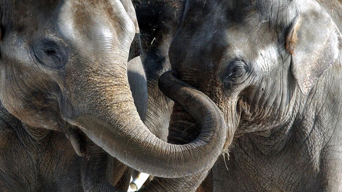 Mort précoce des éléphants en captivité : faut-il les retirer des zoos ?