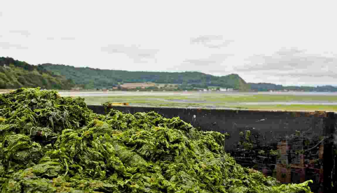 """Algues vertes : faut-il les classer comme """"déchets dangereux"""" ?"""