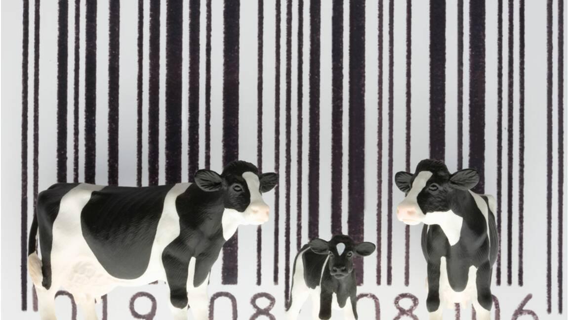 Êtes-vous prêt à consommer des animaux génétiquement modifiés ?