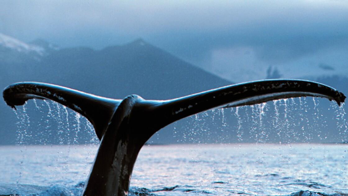 Chasse à la baleine : êtes-vous pour ou contre l'interdiction totale ?