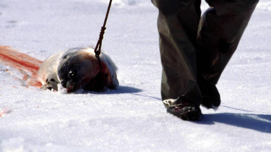 Phoques : faut-il en interdire la chasse même s'ils ne sont plus menacés ?