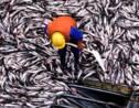 Êtes-vous prêts à réduire votre consommation de poisson ?