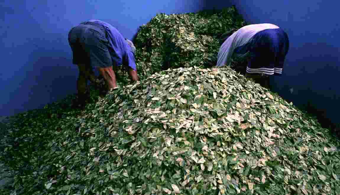 La feuille de coca doit-elle être classifiée comme une drogue ?