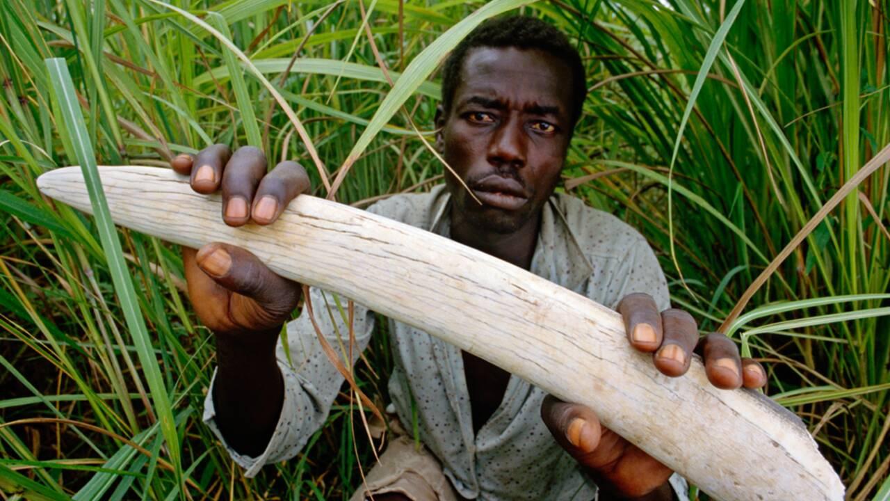 Etes-vous pour l'interdiction du commerce de l'ivoire ?