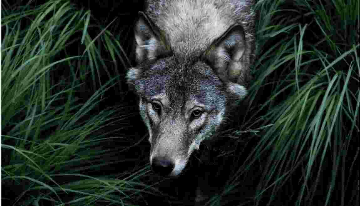 Pour ou contre l'abattage réglementé de loups en France ?