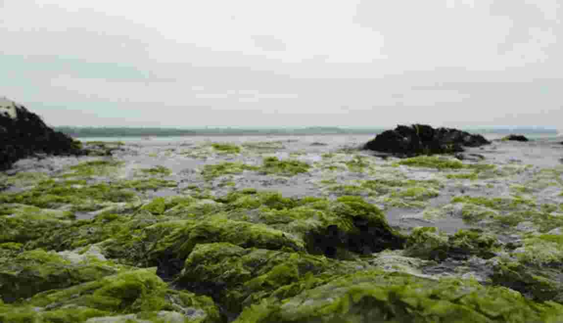 Algues vertes : allez-vous éviter les plages bretonnes ?