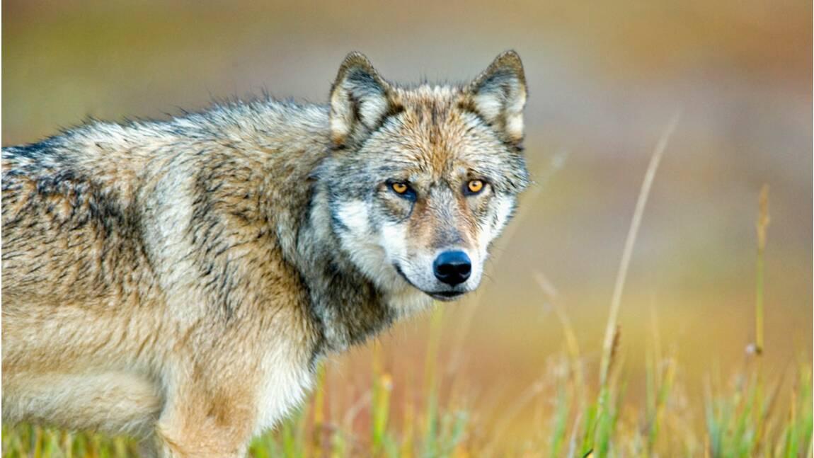 Faut-il abattre les loups pour protéger les cheptels ?