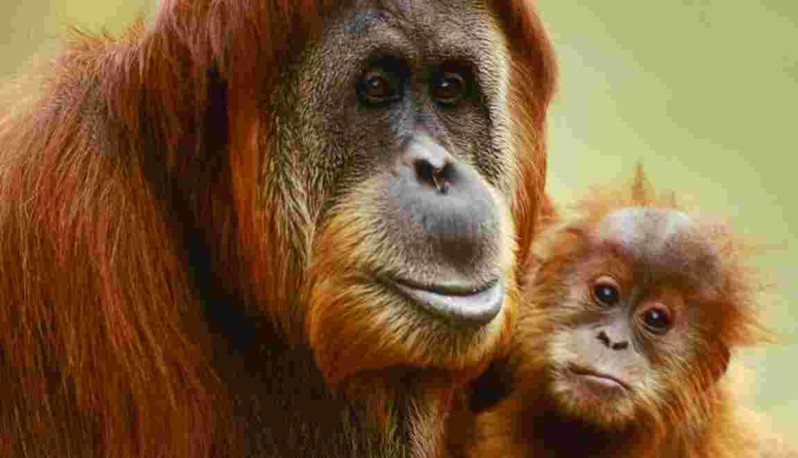 Interdiction des expérimentations sur les grands singes : pour ou contre ?