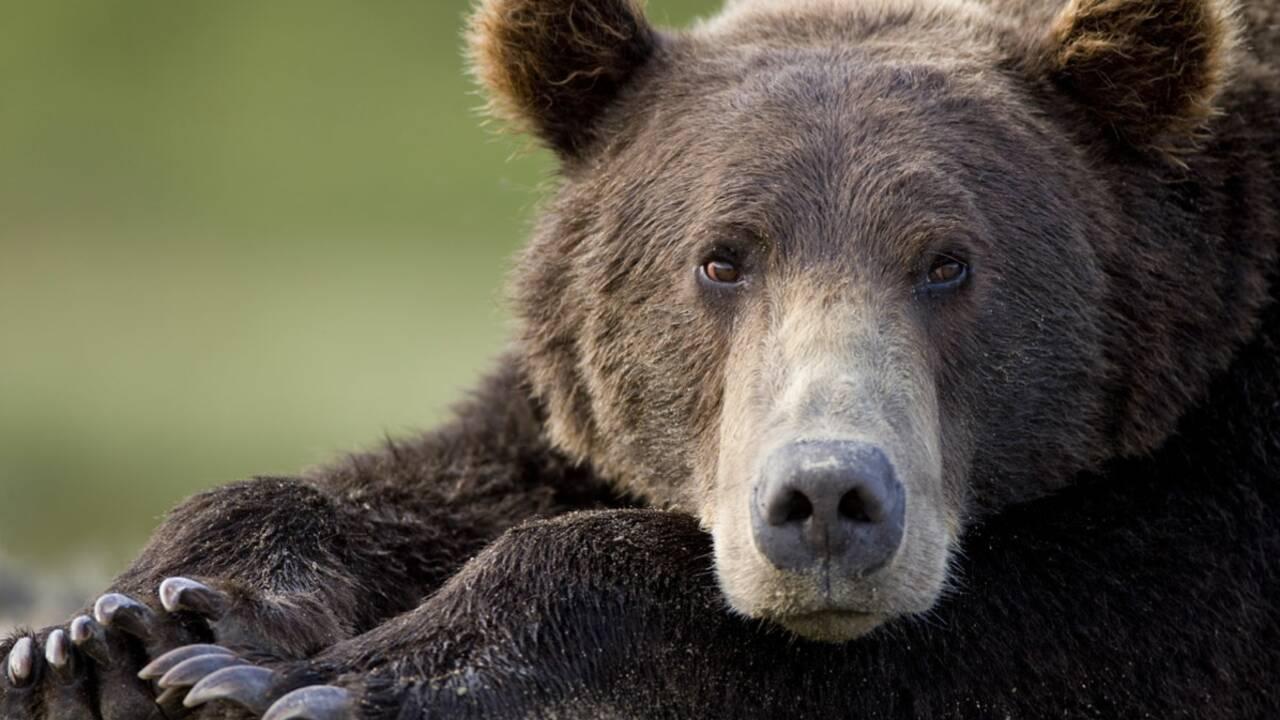 Ours des Pyrénées : pour ou contre de nouvelles réintroductions ?