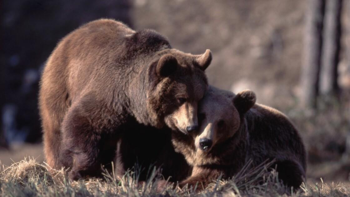 Ours des Pyrénées : nouvelle polémique entre chasseurs et écologistes