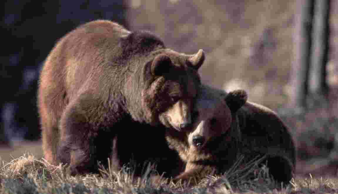Ours des Pyrénées : pour ou contre des réserves clôturées ?