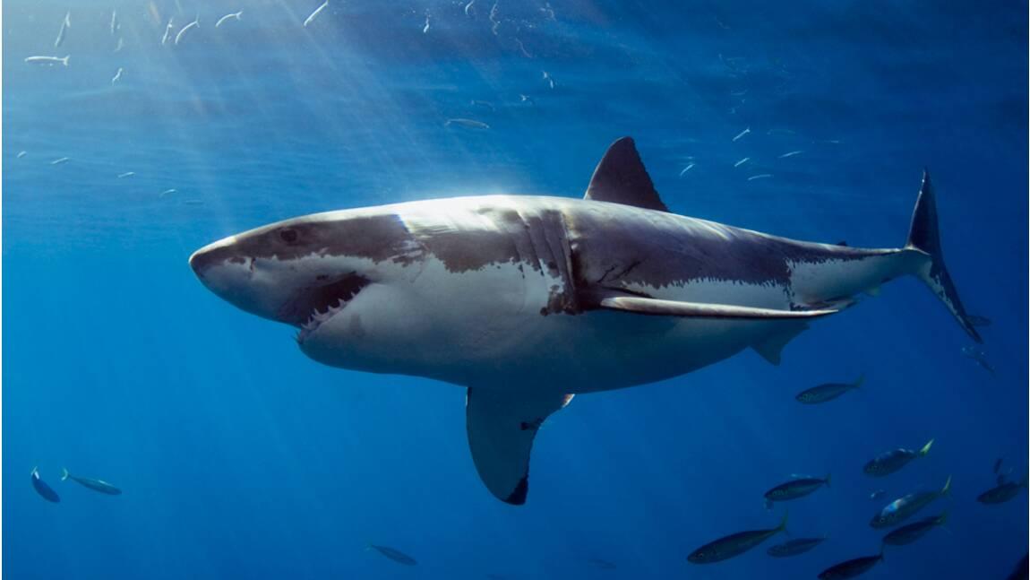 Faut-il chasser les requins ?