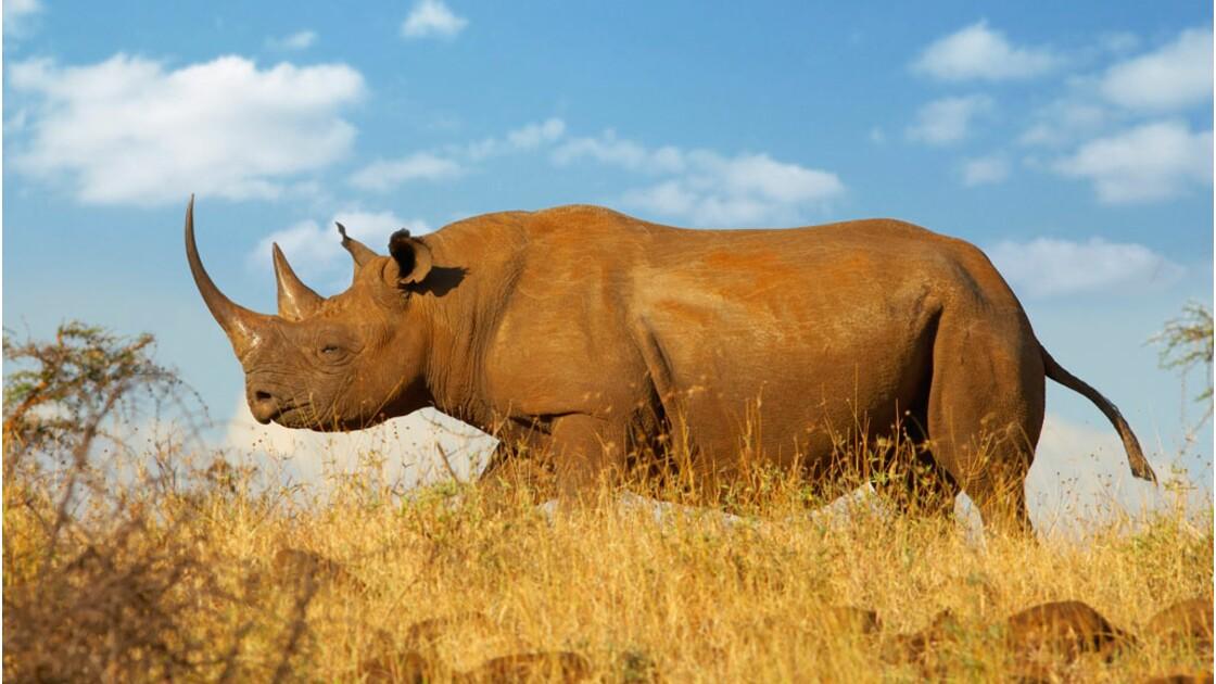 Rhinocéros : faut-il leur couper les cornes pour les sauver du braconnage ?