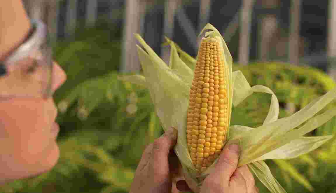 Faut-il un moratoire européen immédiat sur les OGM ?