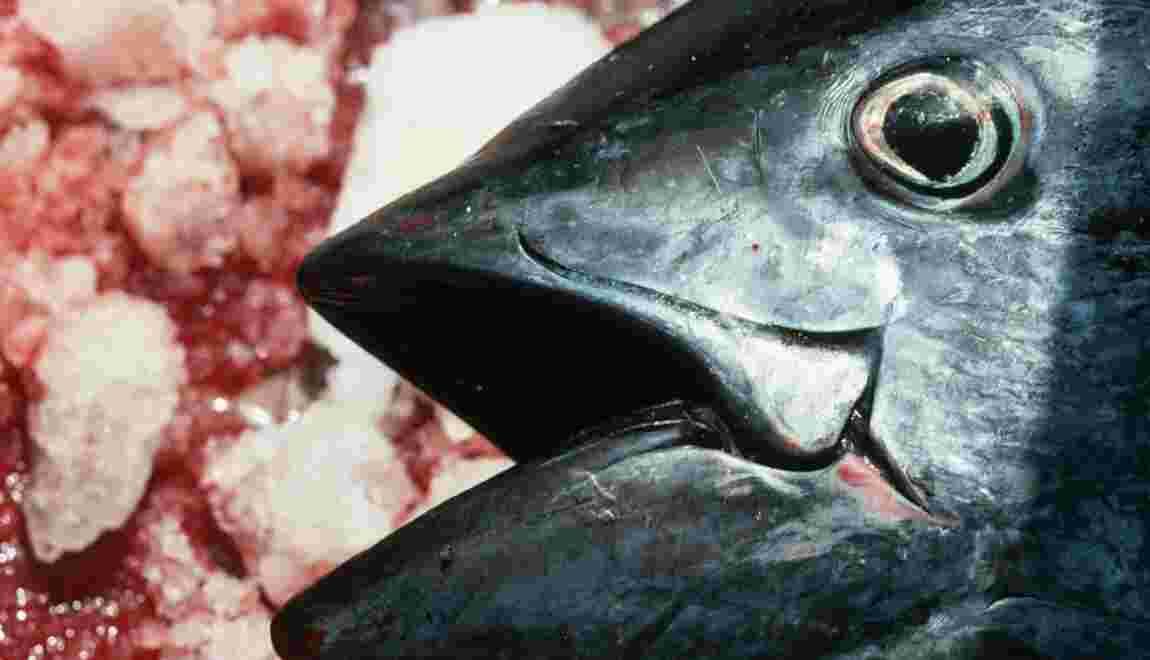 Allez-vous arrêter de manger du thon rouge ?