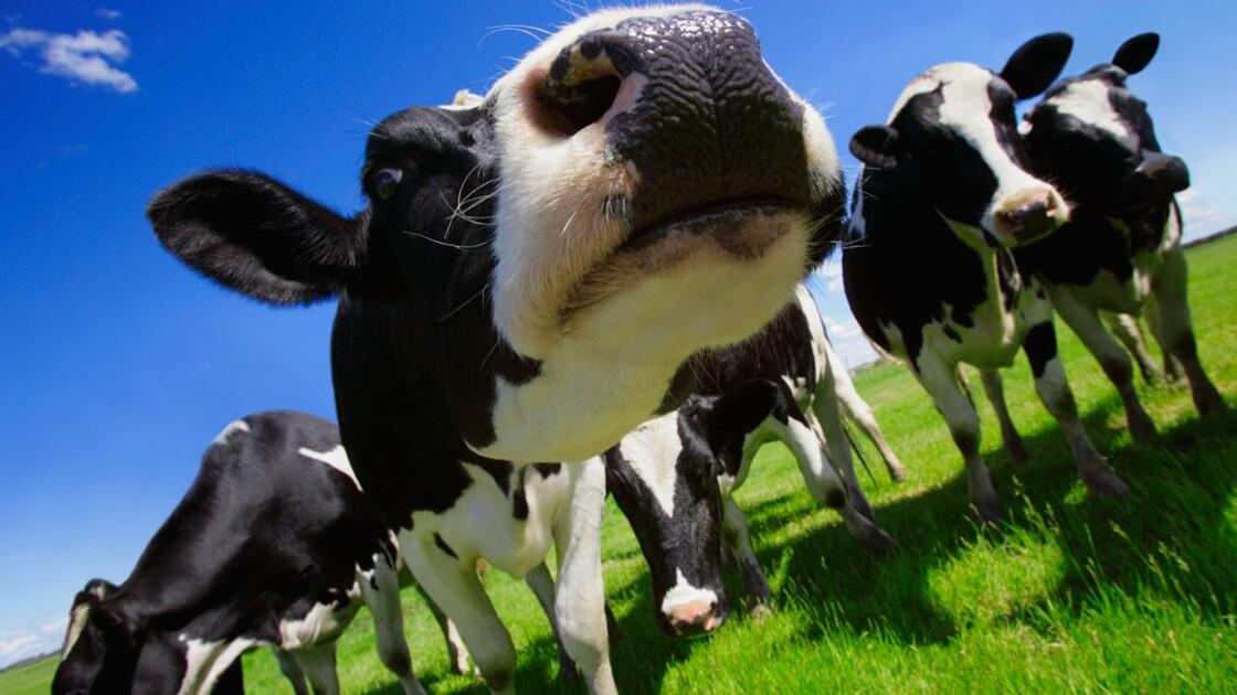 Faut-il instaurer une taxe sur les pets du bétail ?
