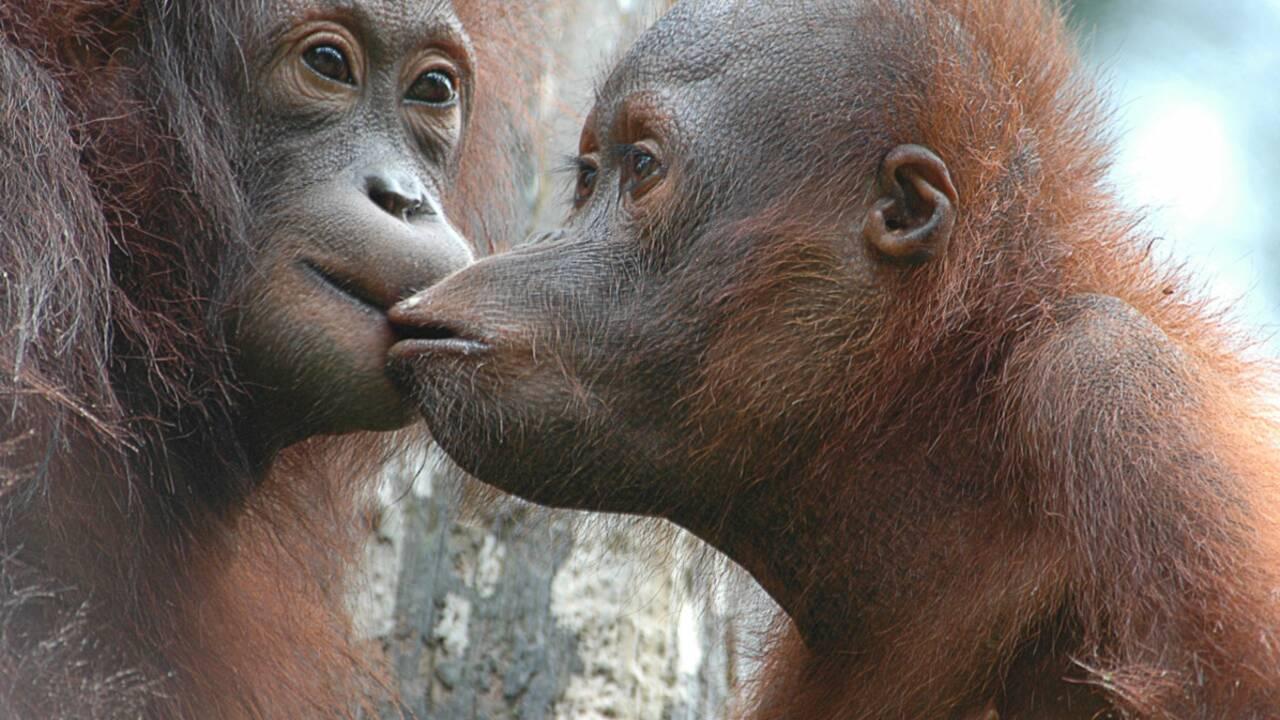 A la rencontre des orangs-outans de Bornéo