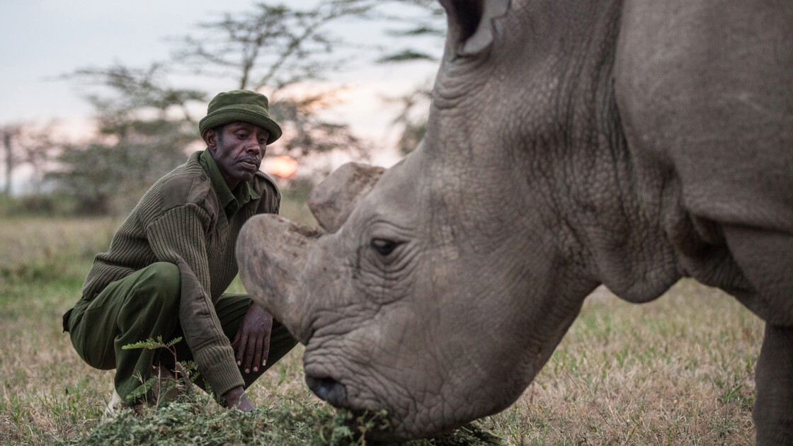 En Afrique, le rhinocéros blanc du Nord est en fin de vie