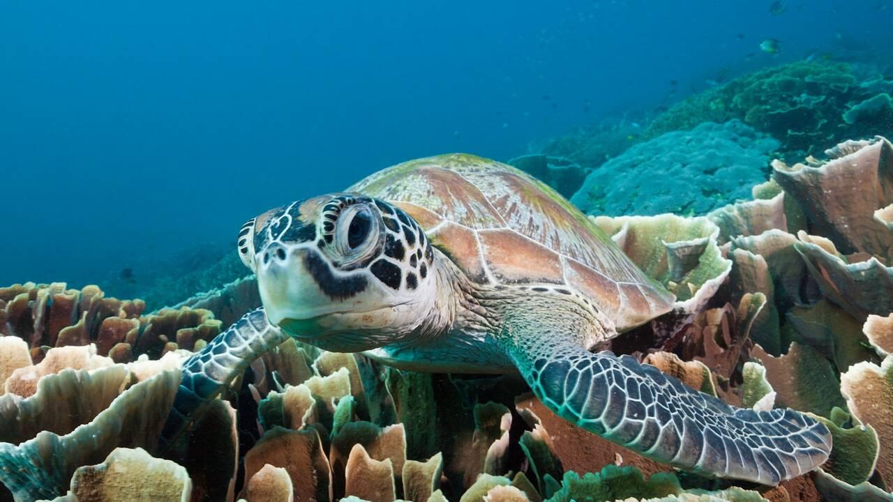 Les tortues marines sortent la tête de l'eau