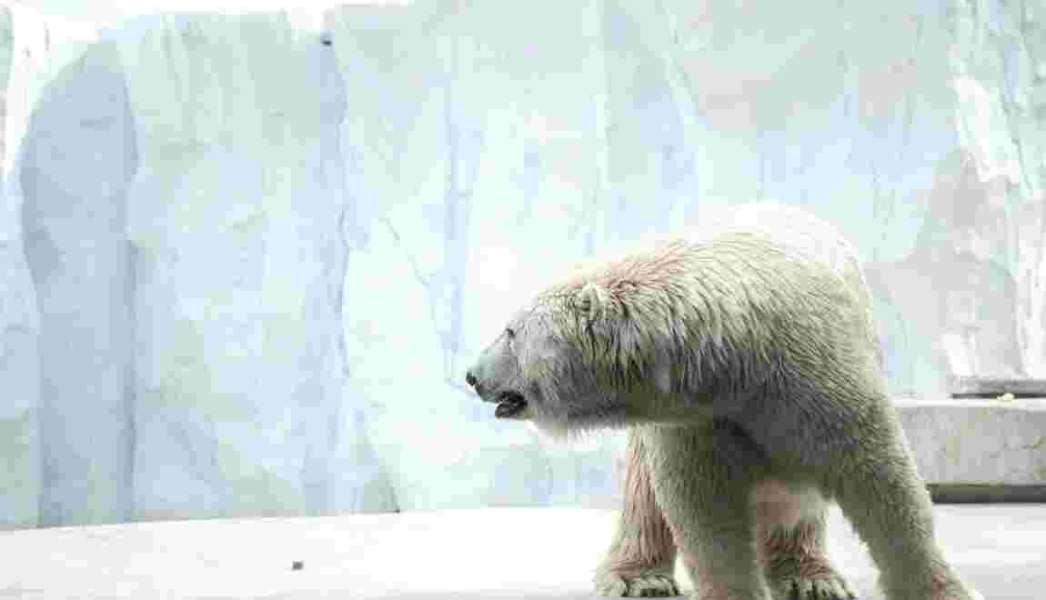 Trafic Animalier : Interpol saisit deux carcasses d'ours polaires