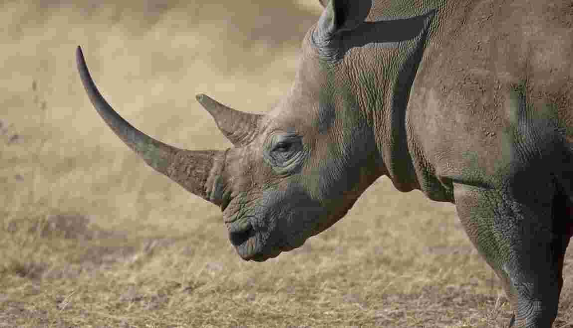 Braconnage : saisie de plus de 100 kg de cornes de rhinocéros au Vietnam