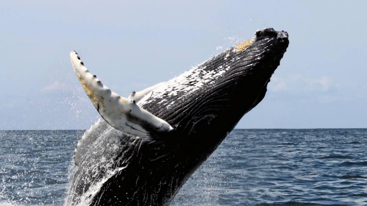 Cinq choses à savoir sur les baleines à bosse