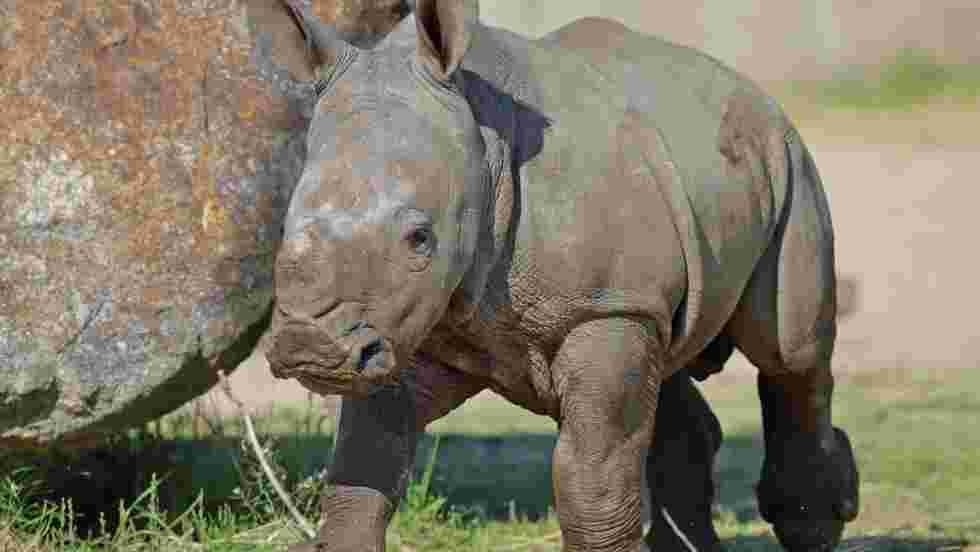Un nouveau rhinocéros au zoo de Thoiry, un an après le braconnage de Vince