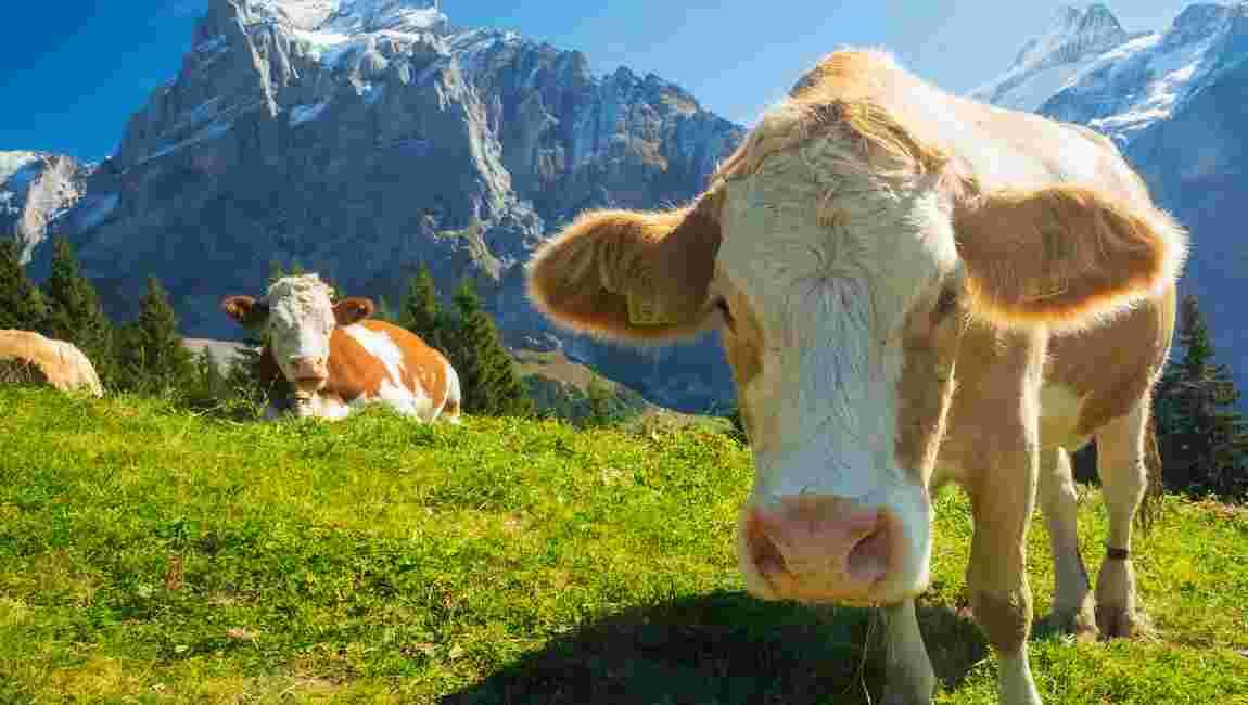 Les vaches sont-elles à un tournant de leur histoire ?