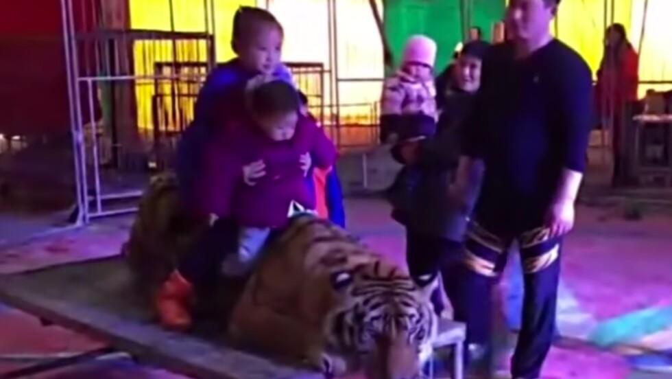 VIDÉO - Un tigre ligoté dans un cirque chinois pour le plaisir des visiteurs
