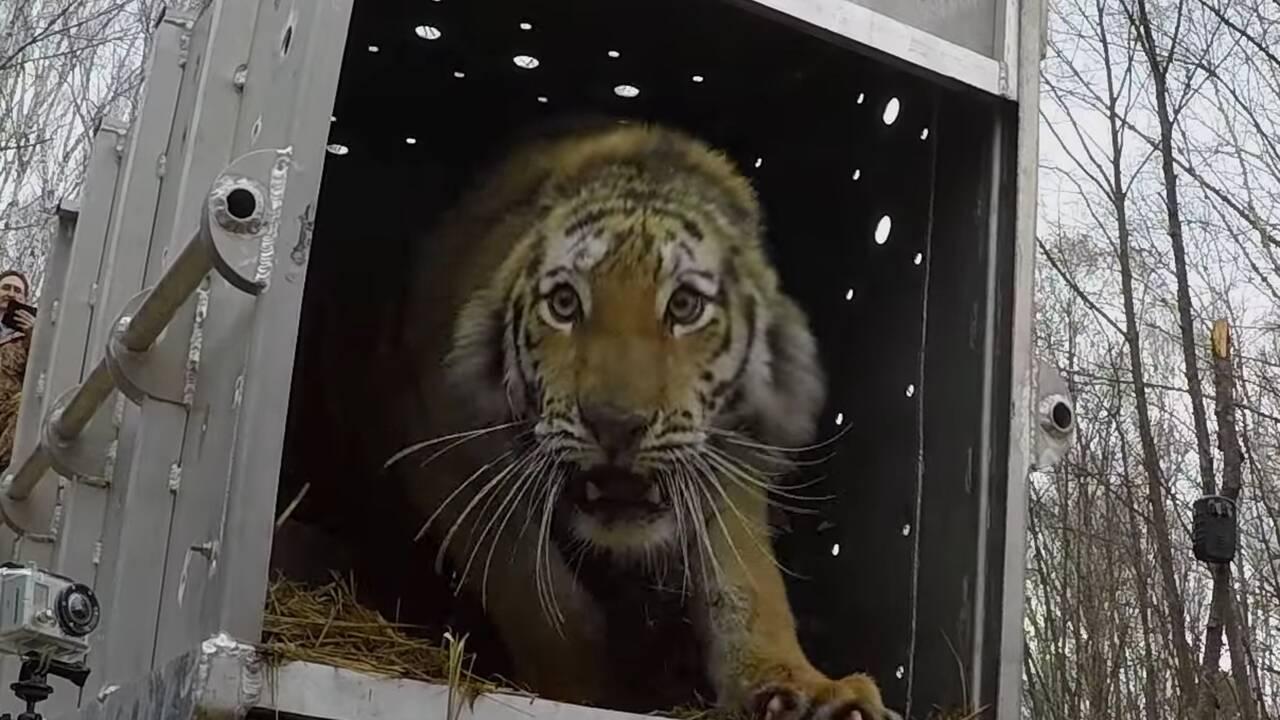 VIDÉO - Une tigresse de Sibérie retrouve la liberté