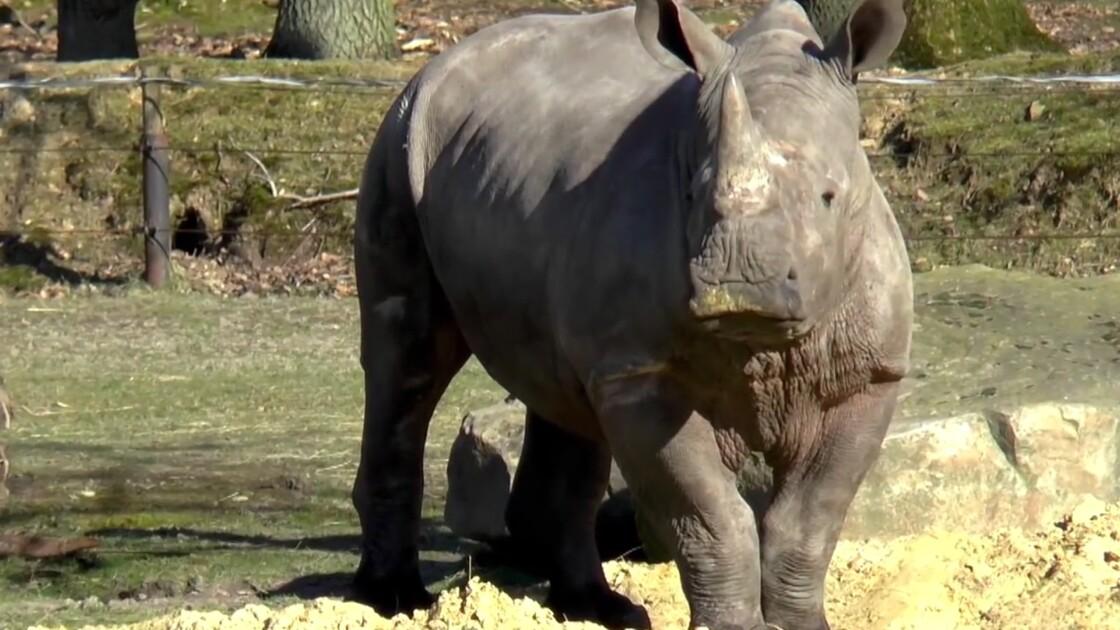 Un rhinocéros blanc abattu par des braconniers au zoo de Thoiry