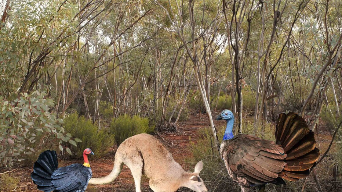 En Australie jadis vivait un dindon grand comme un kangourou