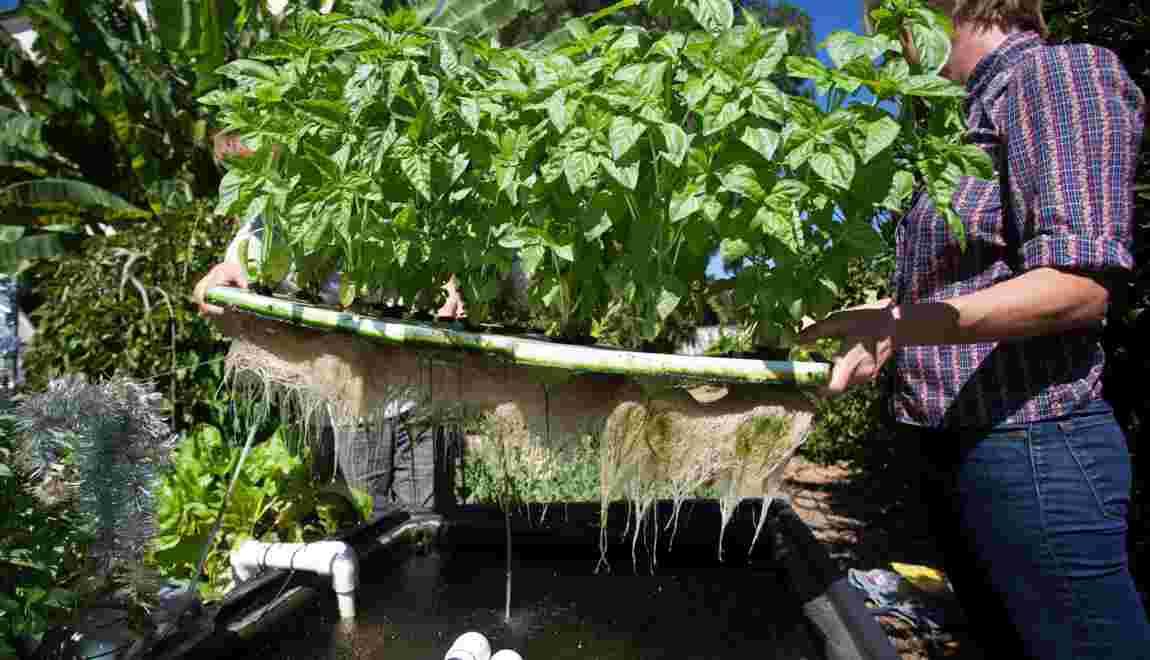 L'aquaponie, ou comment faire pousser des légumes grâce aux poissons