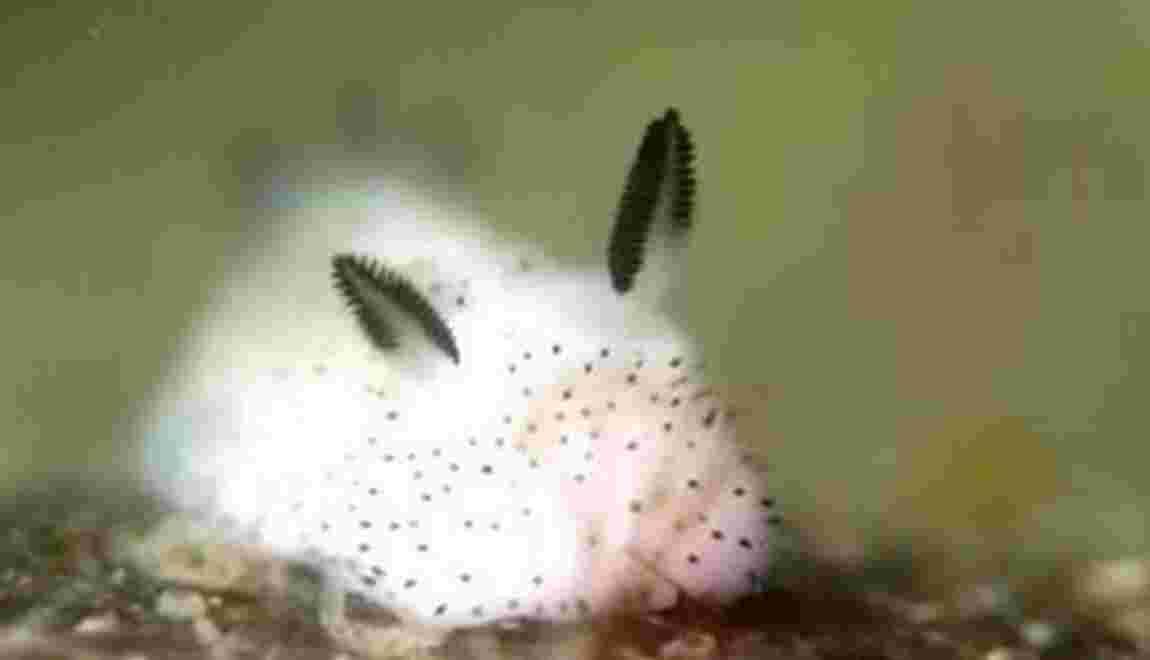 Les « lapins de mer », nouvelles stars du Japon