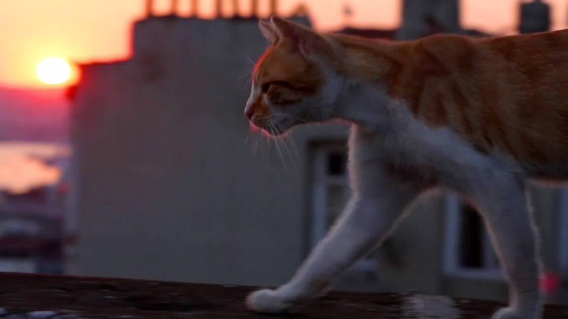 VIDÉO : les chats d'Istanbul