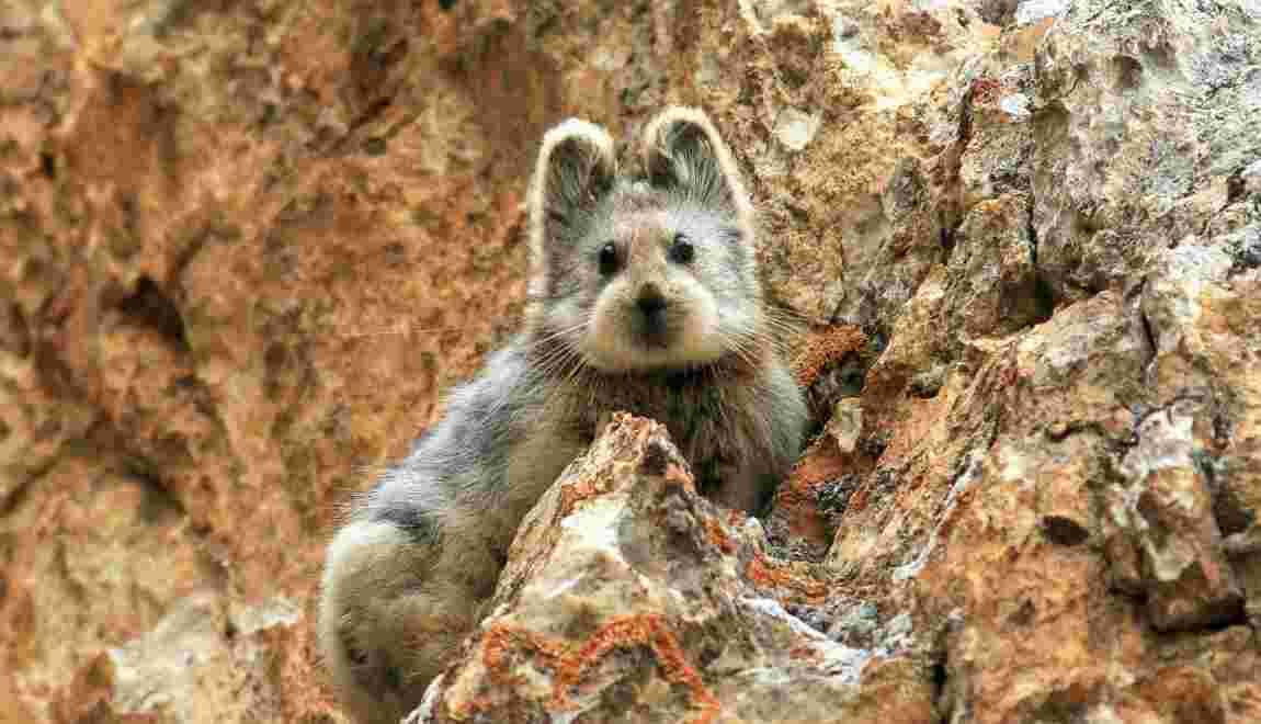 A la rencontre de l'ili pika, mammifère adorable et plus rare que le panda