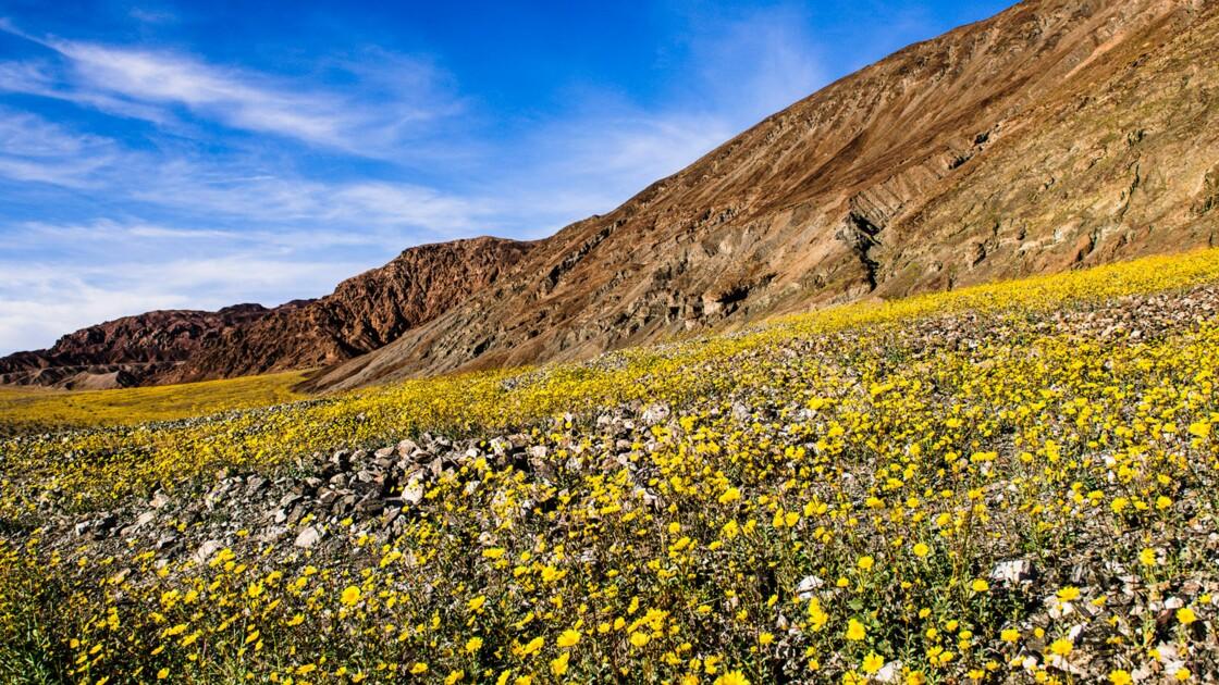 Quand des fleurs sauvages tapissent la Vallée de la Mort