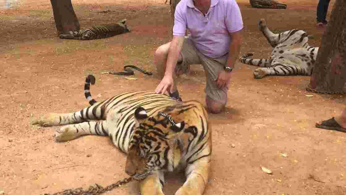 """Immersion dans le très controversé """"temple des tigres"""" en Thaïlande"""