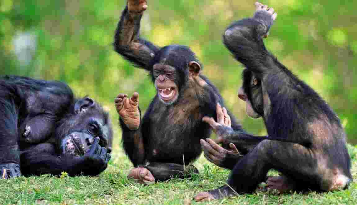 Chez les chimpanzés, l'apéro, c'est sacré