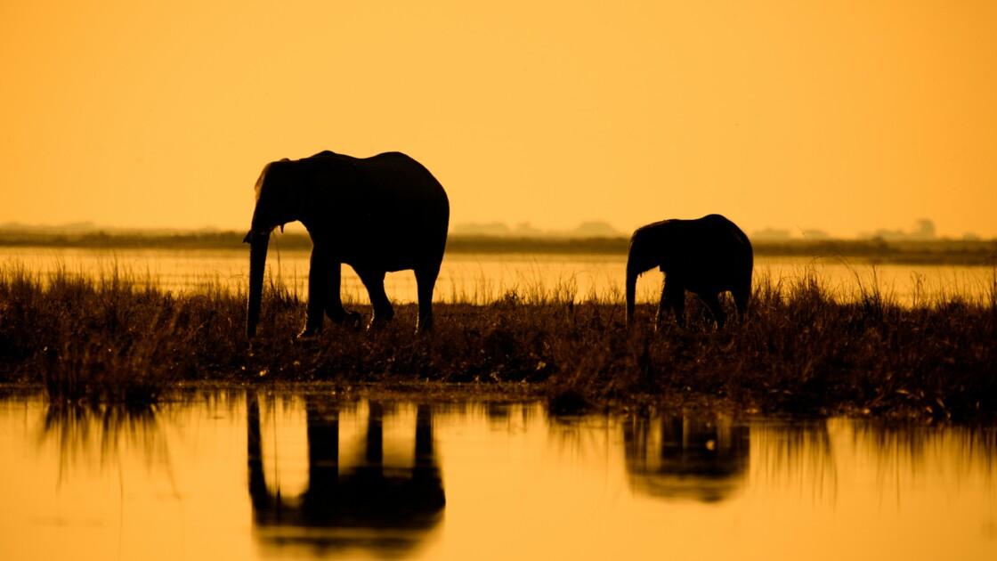 L'Afrique, cimetière des éléphants ?