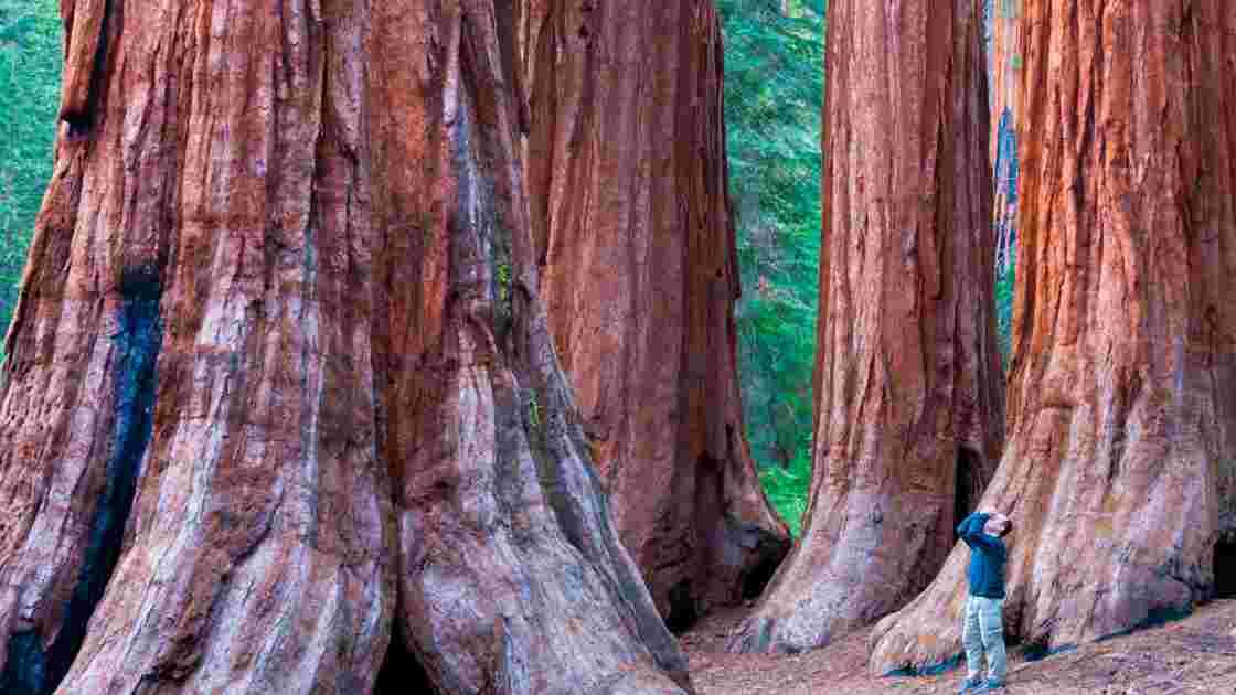 Californie : Le déclin des séquoias géants