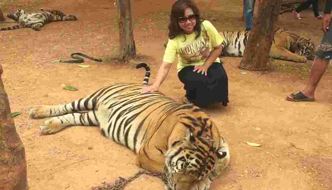 """Thaïlande : Le controversé """"temple des tigres"""" bientôt fermé ?"""