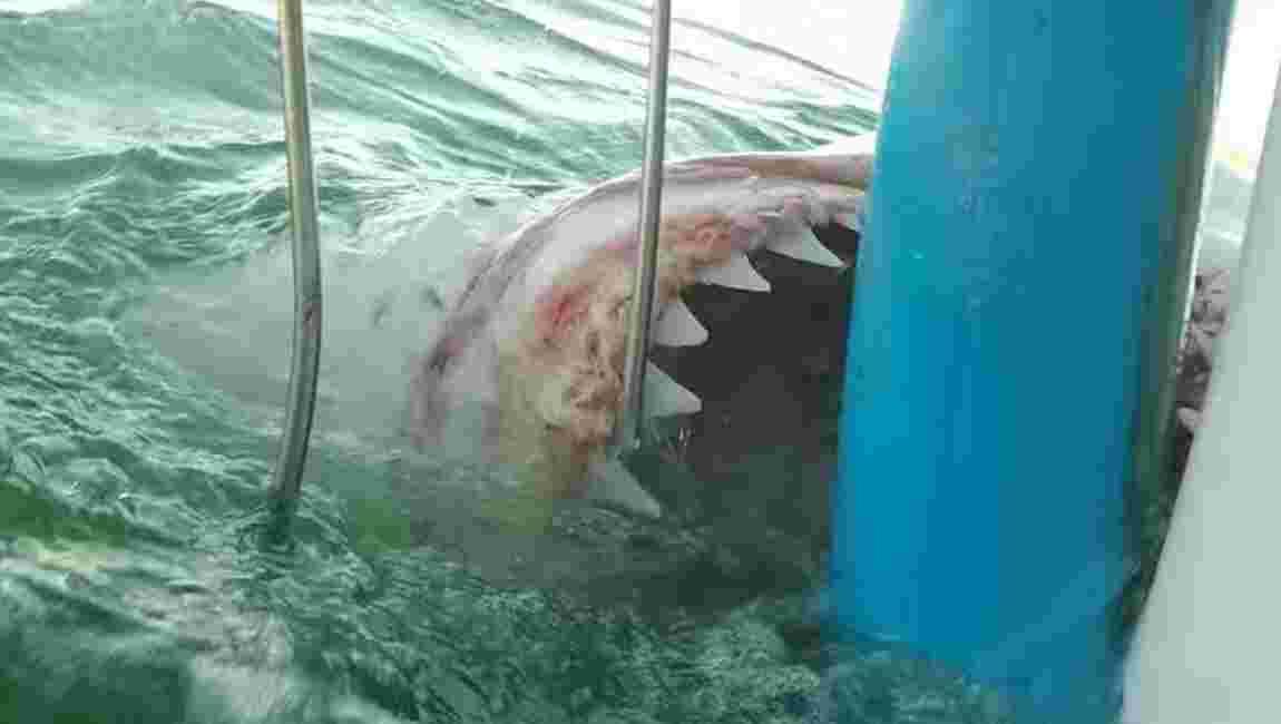 Grand requin blanc : la grosse frayeur d'une plongeuse en cage