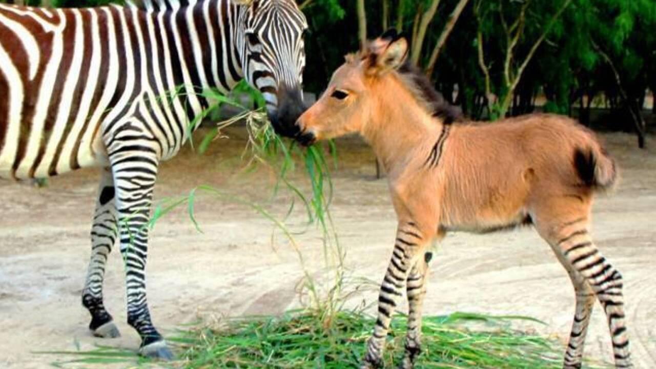 La triste vérité sur les animaux hybrides